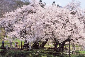 石部桜 (会津の五桜)