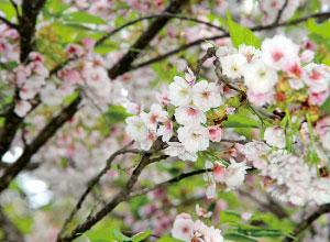 薄墨桜 (会津の五桜)