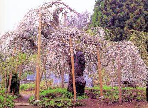 会津坂下町 杉の糸桜 (会津の五桜)
