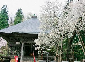 虎の尾桜 (会津の五桜)