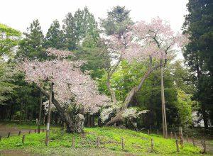 大鹿桜 (会津の五桜)